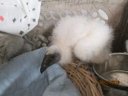 Baby Turkey Vulture