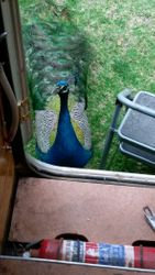 Even a PEACOCK came to the camper waiting to be fed, i was amazed when he took my chicken!!