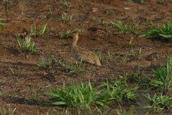 Codorna amarela ( Nothura maculosa )