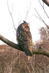 Long-eared Owl   (Hibou moyen-duc)