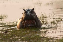 Hippo at Xini Moremi intimidating us