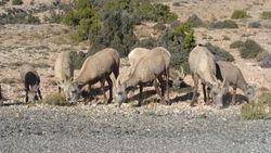 Herd of bighorn.