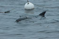 Bottlenose Dolphin   (GRAND DAUPHIN)