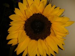 Sunflower Sunshine
