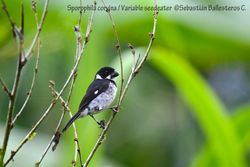 Variable seedeater - male