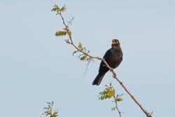 Eurasian Blackbird  (MERLE NOIRE)