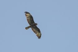Common Buzzard  (BUSE VARIABLE)