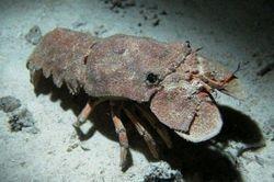 Lobster (Scyllarides Latus) slipper lobster