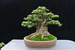 Neea buxifolia del display