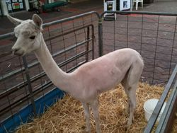 Shorn Alpaca at Maitland Muster Festival