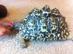 Bumpy- Our leopard tortoise