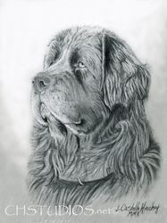 Newfoundland Pet Portrait Commission