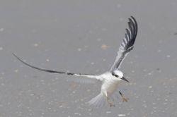 Sterne naine - Least Tern