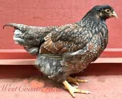 Double Laced Blue pullet- 15 weeks old