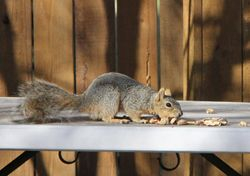 Backyard Eastern Gray Squirrel