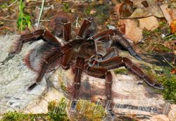 Theraphosa blondi female