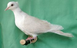 Champagne Crested Silky male