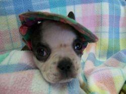 Okie Boo x Tiny puppy's