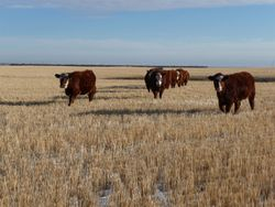 Whitby Farms Red Baldies