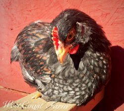 Blue Double Laced cockerel