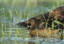 Cane dans l'intimité du marais