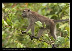 Crab-eating Macaque (Macaca fascicularis) 2