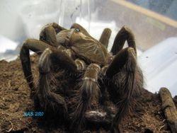 Pamphobeteus sp. South Ecuador
