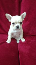 AKC Banana Rama, Female Cream $3200