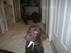 Koko loves chewing paper