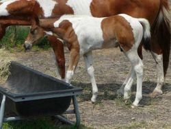 Suckling - APHA tobiano colt by Sparks Black Jack