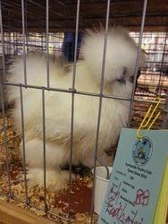 Champion Featherleg Cockerel 12/14