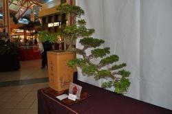 Bucida espinosa (Ucarillo)