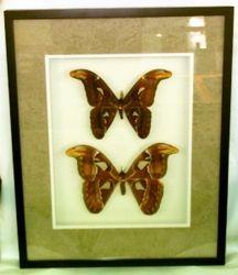 16x20 Black shadowbox frame with Atlas Moth pair
