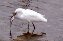 Snowy Egret with poor fish