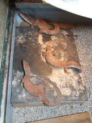 Ridge-Tailed Monitors - WA Pilbra -Yearlings