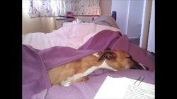 Ginger snug in bed
