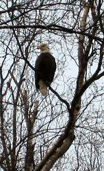 Bald Eagle in Borch Tree