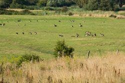 Canada Geese Grazing on farmland