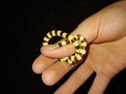 Shovel Nose Snake
