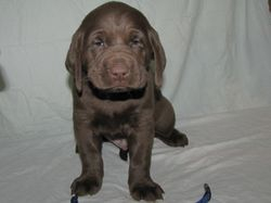 "5 Weeks Old - Blue Collar Male ""Gord"""