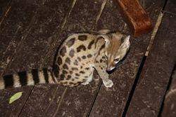 Spotted Genet -Samburu Game Reserve
