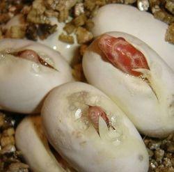 Amelanistic Corns Hatching