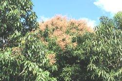 Mango blossom