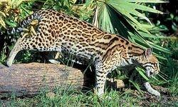 WILD CAT - OCELOT