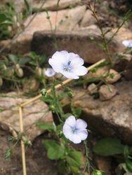 Pale flax Linum bienne