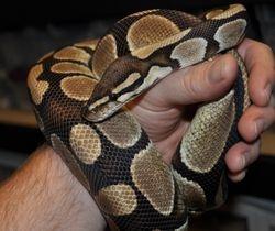 Nornal Ball Python
