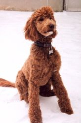 Molly goldendoodle