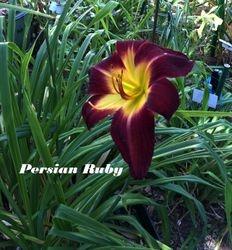 Persian Ruby