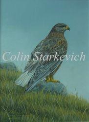 "Dark-morph Ferruginous Hawk (12 by 9"" acrylic on panel) $350.00"