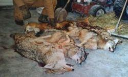 4 nice dogs & fox